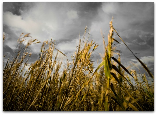 gmo's tied to gluten sensitivity